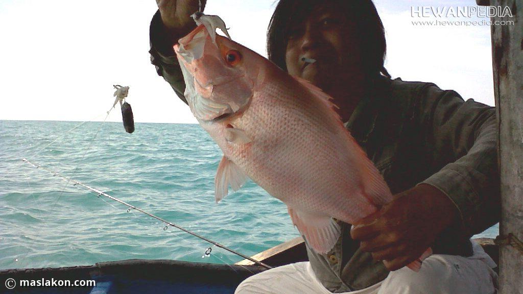 Teknik Cara Mancing Ikan Kakap Merah Terampuh