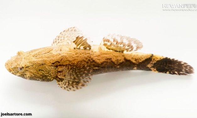 Teknik dan Cara Memancing Ikan Betutu atau Ikan Kotes (Oxyeleotris Marmorata)