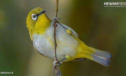 Cara Meracik Makanan Burung Pleci Sendiri agar Gacor dan Sehat