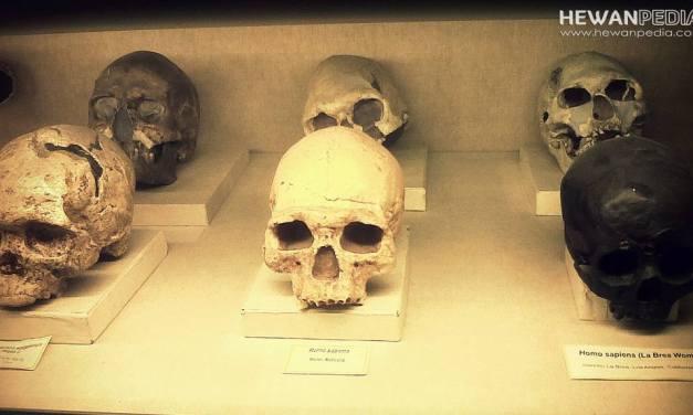 6 Jenis Fosil Manusia Purba di Indonesia Beserta Nama Penemunya