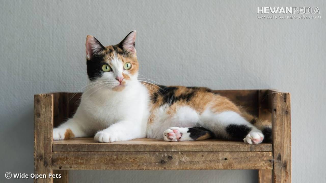 Penjelasan Kucing Calico Atau Belang Tiga Warna Menurut Biologis Hewanpedia