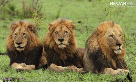 Singa beserta Ciri Fisik dan Karakteristiknya
