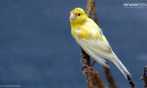 Ini Ciri dan Cara Ampuh Mengatasi Burung Kenari yang Stress