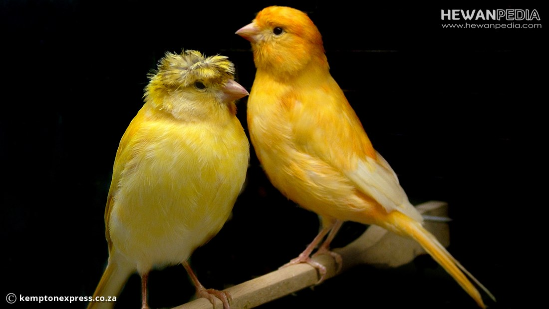 9 Langkah Cara Menjinakan Burung Kenari agar Jinak diTangan