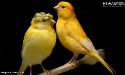 Cara Lengkap untuk Menjodohkan Burung Kenari untuk Budidaya