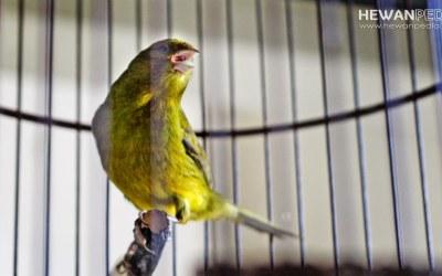Cara Master Melatih Suara dan Mental Burung Kenari