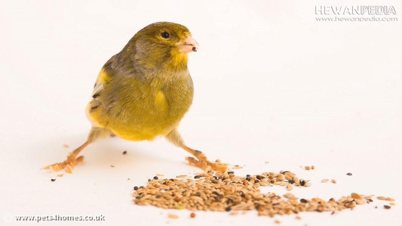 Berbagai Jenis Pakan Burung Kenari Dan Penjelasan Manfaatnya Lengkap Hewanpedia
