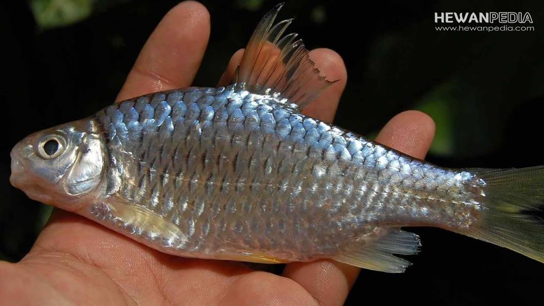 Cara Mancing Malam Hari Dengan Umpan Jitu Ikan Wader Hewanpedia