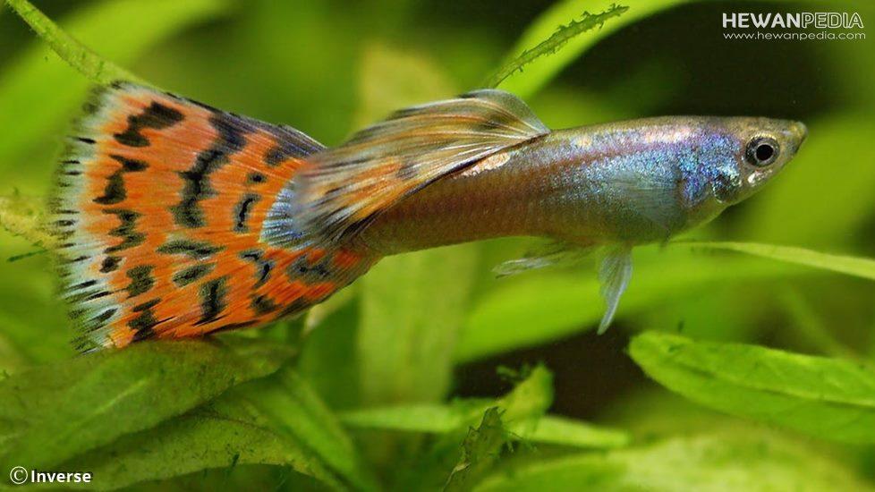 5 Jenis Makanan yang Cocok untuk Ikan Guppy