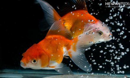 Cara Membedakan Ikan Koki Jantan dan Betina