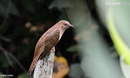 Mengenal 4 Jenis Burung Kedasih atau Wiwik yang di Mistiskan