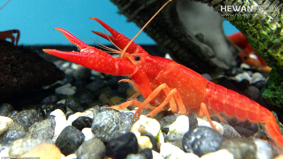 4 Jenis Makanan Lobster Air Tawar Dan Cara Pemberian Pakan Yang