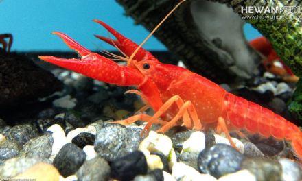 Mengenal Lobster Air Tawar beserta Klasifikasi, Morfologi dan Habitatnya