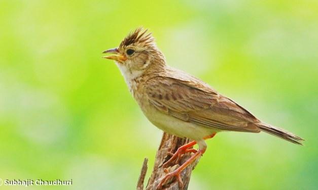 Ciri Burung Branjangan Dari Daerah Asal masing-masing