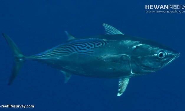 Mengenal Ikan Tongkol Beserta Klasifikasi, Morfologi dan Habitatnya