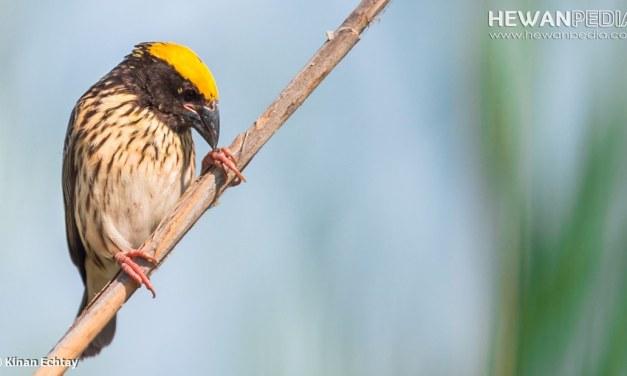 Ini Makanan Utama Burung Manyar