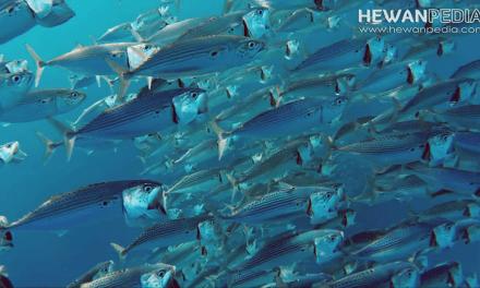 Mengenal Ikan Kembung beserta Klasifikasi, Ciri Fisik dan Habitatnya