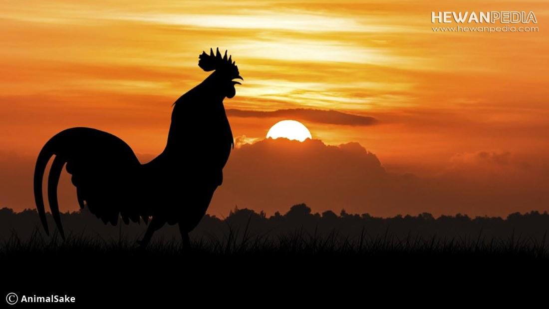 6 Jenis dan Ciri Ayam Bangkok Pembawa Keberuntungan atau Katuranggan