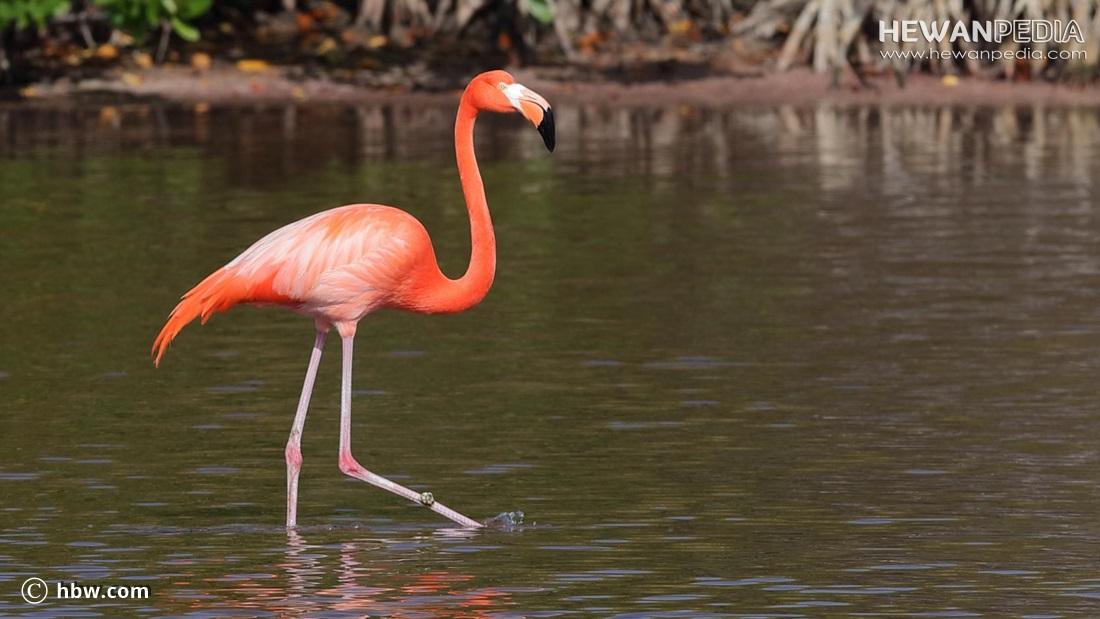 20 Fakta Menarik Mengenai Burung Flamingo
