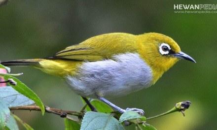Burung Pleci Dakun Bali serta Fakta Menariknya