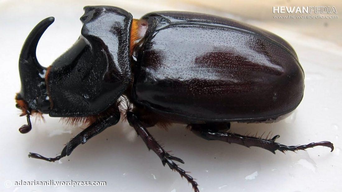 Metamorfosis atau Siklus Hidup Kumbang Tanduk atau Kumbang Badak