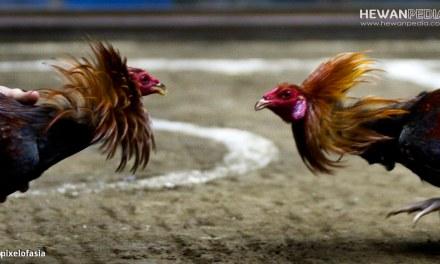 Ciri Fisik Ayam Pakhoy Impor dan Karakter Bertarungnya
