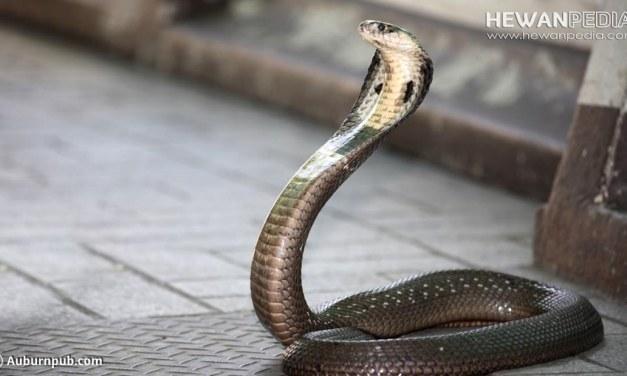 Ular Kobra di Rumah