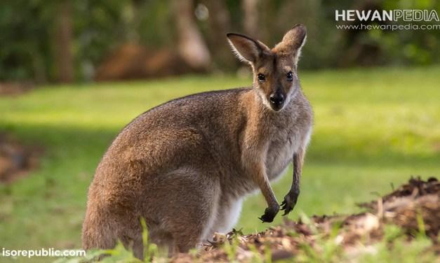 Walabi Mamalia yang Mirip dengan Kanguru