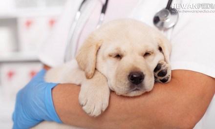 Virus Corona pada Anjing serta Ciri dan Menceggahnya