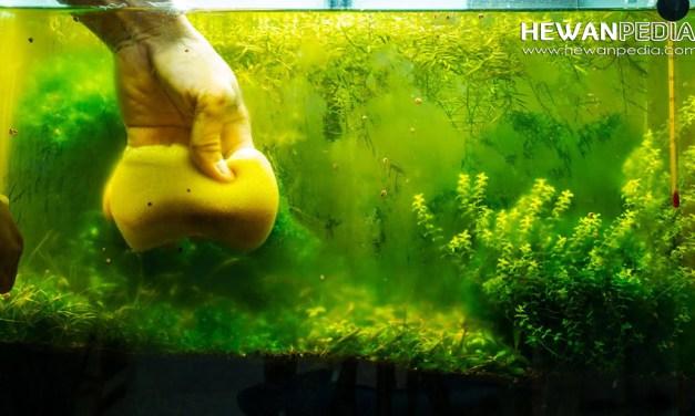 7 Cara Ampuh Mengendalikan dan Mengurangi Lumut Pada Akuarium