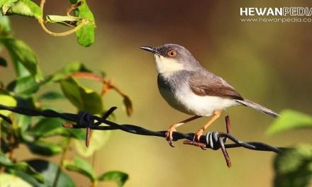 11 Mitos Arti dari Bunyi Burung Prenjak menurut Primbon