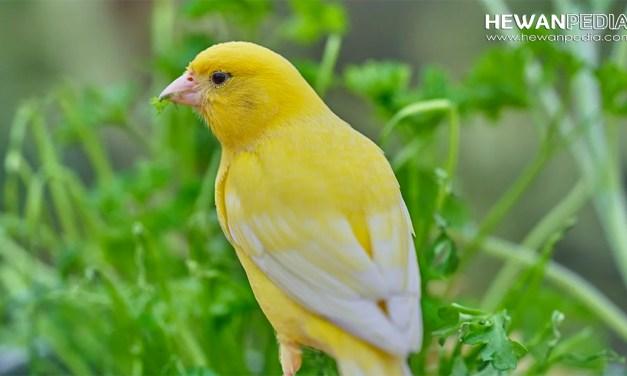 3 Faktor Utama yang Menentukan Harga Burung Kenari