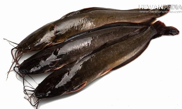 Mengenal Ciri-ciri Lengkap Ikan Lele