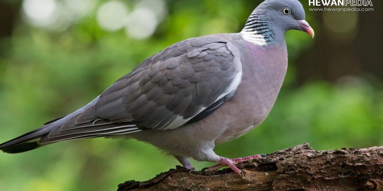 8 Jenis Burung Merpati Aduan Berdasarkan Karakter Warna