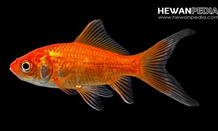 Cara Jitu Mengawinkan atau Memijah Ikan Komet Merah