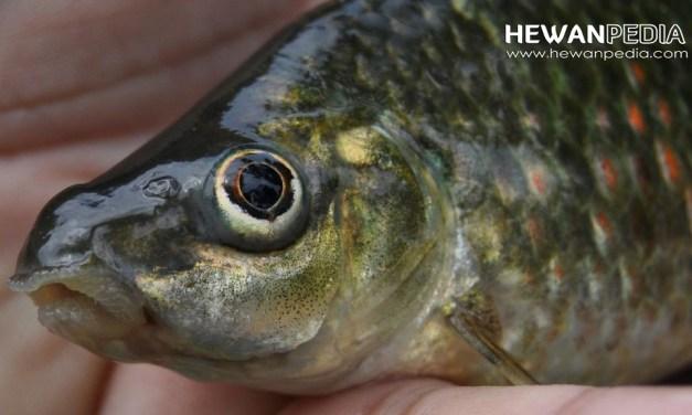 5 Teknik dan Tips Mancing Ikan Nilem atau Melem