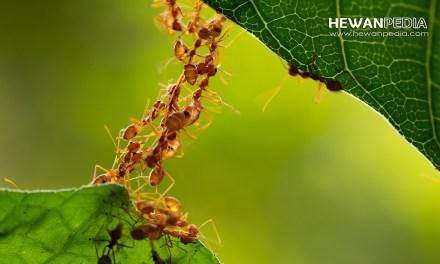 4 Alasan Semut Rangrang Membuat Sarang pada Daun yang Muda