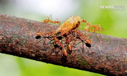 2 Akibat Terburuk Punahnya Habitat Semut Rangrang di Alam