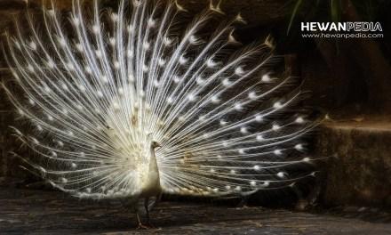 15 Arti Mimpi Burung bertemu Merak menurut Primbon Jawa