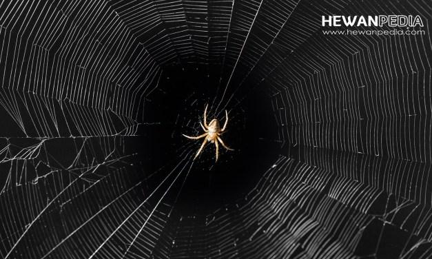 Mitos Sarang Laba-laba menurut Islam dan Ilmiah