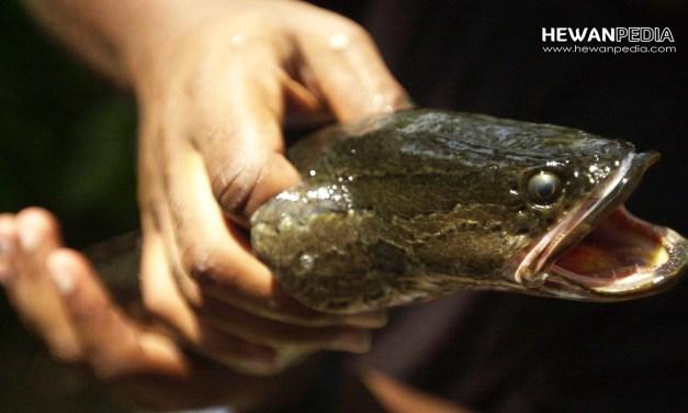 3 Arti Mimpi Menangkap Ikan Gabus menurut Primbon Jawa