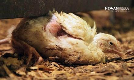 Lengkap! Jenis dan Cara Mengobati Penyakit Ayam serta Unggas