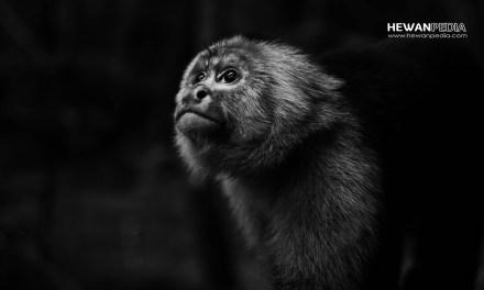 34 Arti Mimpi Bertemu Monyet atau Kera menurut Primbon