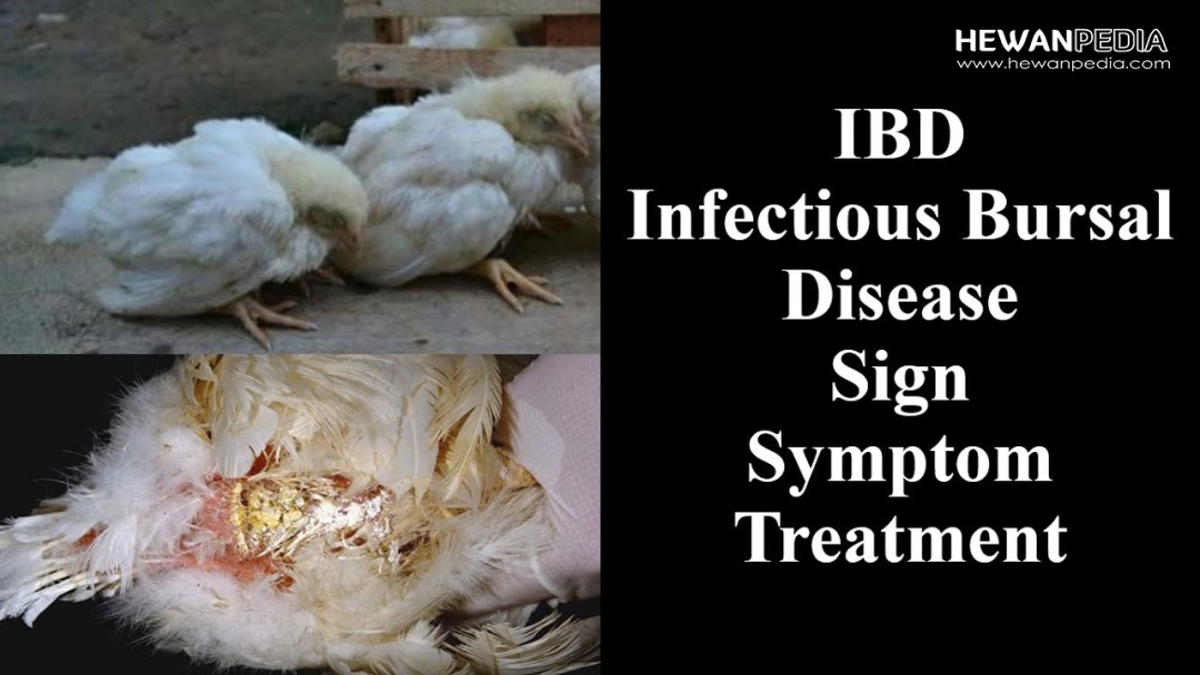 Gumoro Infectious Bursal Disease pada ayam