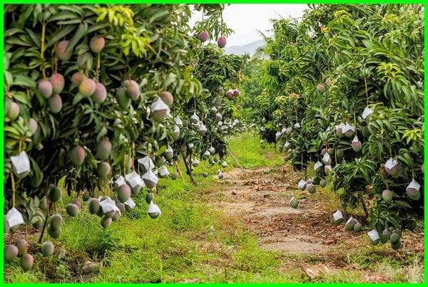 budidaya buah mangga, cara budidaya mangga, budidaya mangga gedong gincu pdf, analisa budidaya mangga harum manis, jurnal budidaya mangga, keuntungan budidaya mangga, budidaya pohon mangga, sop budidaya mangga, sukses budidaya mangga, teknik budidaya mangga, budidaya mangga unggulan, waktu budidaya mangga