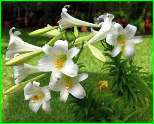 bunga+lili, bunga lili putih, gambar bunga lili, bunga lily of the valley, tanaman bunga lili, warna bunga lili, jenis bunga lili paris, bentuk bunga lili, bunga lili putih artinya, bunga lily wikipedia