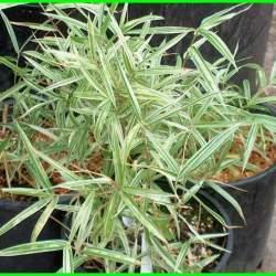 bambu kecil untuk pagar, jenis bambu kecil, bambu batang kecil, bambu diameter kecil, bambu daun kecil, pohon bambu daun kecil, rebung bambu kecil, bambu kecil taman, jenis bambu diameter kecil, bambu kecil tanaman