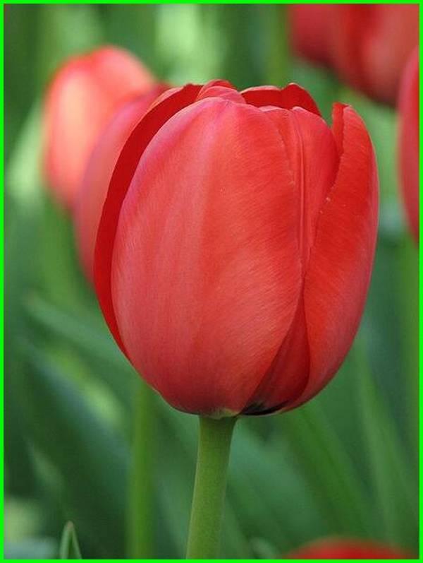 arti bunga tulip merah, tulip merah, makna bunga tulip merah, bunga tulip merah putih, bunga tulip merah, bunga lily merah muda, gambar bunga tulip merah, bunga tulip merah muda, arti dari bunga tulip merah, tulip merah artinya