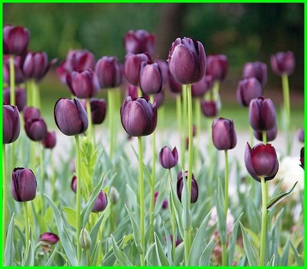 bunga tulip ungu, bunga tulip ungu mekar, bunga tulip warna ungu, bunga tulip asli, bunga tulips, gambar bunga tulip, warna bunga tulip, bunga tulip berasal dari negara, arti bunga tulip, foto bunga tulip