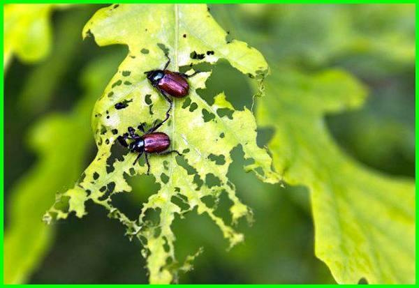 hama terhadap pestisida, resistensi hama terhadap pestisida artinya, hama kebal terhadap pestisida, kekebalan hama terhadap pestisida disebut